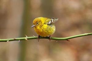 toutinegra amarela no inverno foto