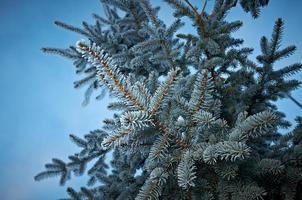 geada do inverno na árvore de abeto foto