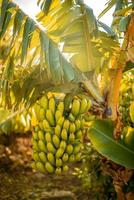 ramo com banans foto
