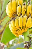 colheita de banana amarela foto