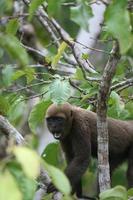 macaco lanoso na amazônia
