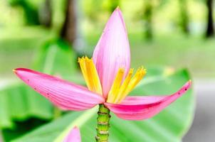 flor de bananeira rosa com fundo verde suave foto