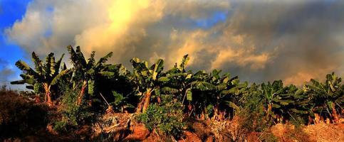 bananas palmeiras árvores foto