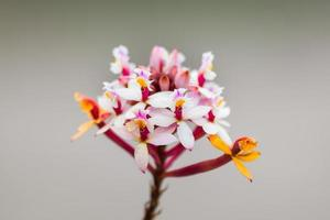 orquídeas coloridas encontradas no topo da montanha de Ávila