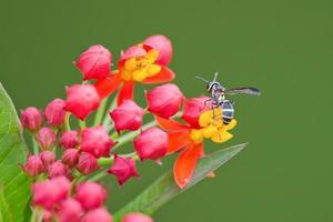 close-up de vespa polinizando em flores vermelhas e amarelas foto