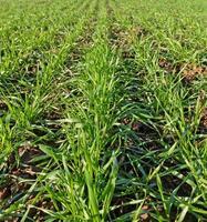 trigo verde. foto