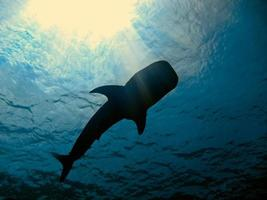 Tubarão baleia foto