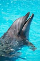 golfinho treinado nada na água da piscina foto