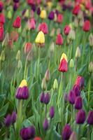 campo de tulipa foto