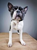 retrato de estúdio de terrier de boston foto