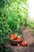 tomates suculentos em estufa foto