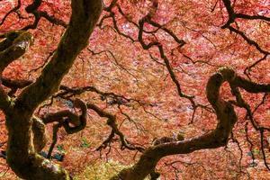 árvore de bordo japonês vermelho