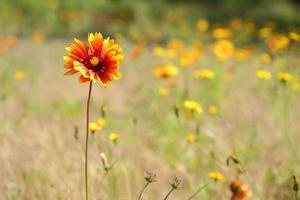 sundance, firewheel ou flor de cobertor indiano foto