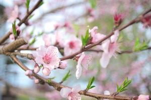 flores de pêssego