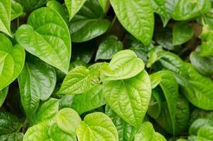 linda folha de betel fresco (piper betle) foto
