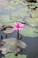 água lilly flores foto