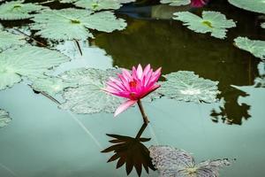 água lilly flores