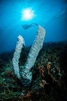 esponja petrosia lignosa salvador dali juvenil em gorontalo, indonésia debaixo d'água foto