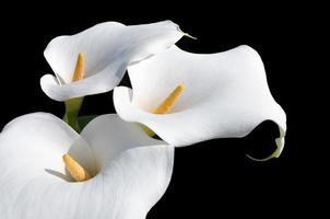 arum lilly ou calla foto