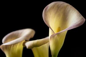 zantedeschia aethiopica, lírio de calla foto