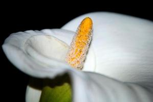 flor cala blanca foto