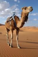 camelo árabe foto