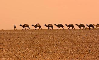 caravana de camelos foto