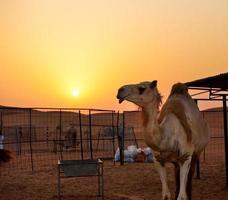 o camelo no deserto durante o pôr do sol, dubai, Emirados Árabes Unidos foto
