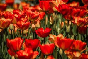 mistura de tulipas coloridas vermelhas e amarelas foto