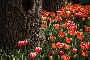 tulipas no fundo das árvores foto