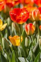 tulipas coloridas em hidiv, istambul foto