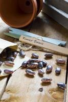 jardinagem - sementes de feijão foto