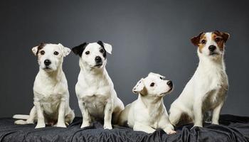 retrato de família jack russell terrier foto