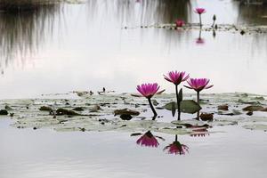 fotografia de nenúfar em uma lagoa foto