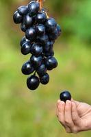 mão de criança com uva foto