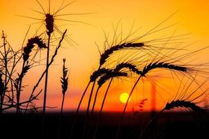 pôr do sol do milharal foto