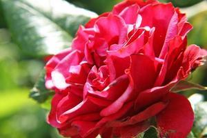 Rosa vermelha foto