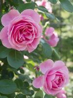 floração rosa rosa. foto