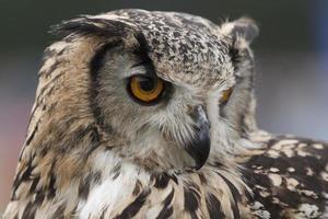 coruja de águia indiana foto