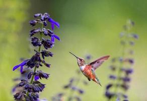 fêmea de beija-flor ruiva. foto
