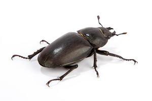 besouro de veado fêmea foto