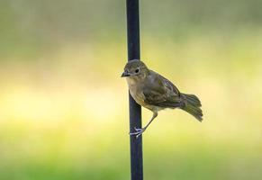 estamenha pintada feminina (passerina ciris) foto