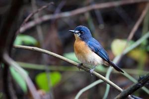 papa-moscas de mangue azul (fêmea) foto