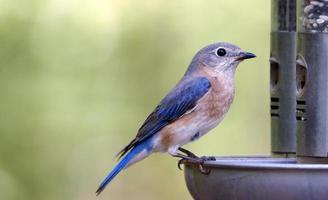 pássaro azul feminino no alimentador foto