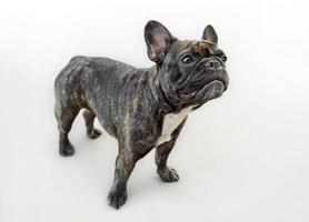 cão engraçado feminino bulldog francês foto
