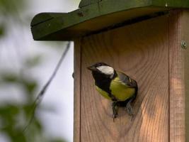 Chapim feminino na caixa de nidificação foto