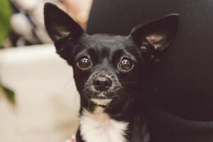 cão curioso feminino doce bonito preto pincher foto