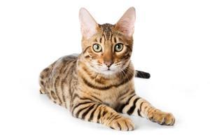gato de Bengala no fundo branco