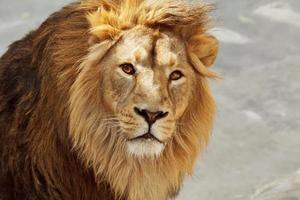 contato visual com um jovem leão asiático. foto
