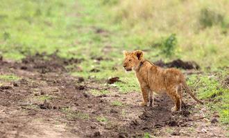 pequeno filhote de leão molhado foto